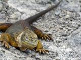 Land Iguana  Galapagos Islands  Ecuador