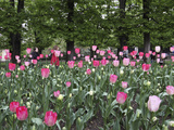 A Bed of Tulips at Luxembourg Gardens  Paris  France