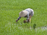 Farmer Wearing Conical Hat Planting Rice Seedlings on Mekong Delta  Vietnam