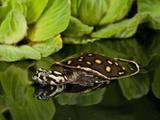 Indian Spotted Softshell Turtle  Lisemys Punctata  Native to India
