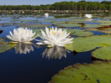 Water Lilies  Caddo Lake  Texas  USA