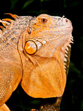 Green Iguana  Iguana Iguana  Native to Mexico and Central America