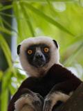 Coquerel's Sifaka  Perinet Reserve  Toamasina  Madagascar