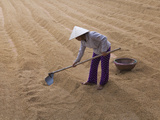 Farmer with Conical Hat Drying Rice  Vietnam