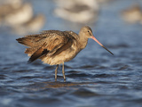 Marbled Godwit  Laguna Madre  Texas  USA