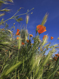 Weeds and Poppies from Worms-View  Santa Cruz Coast  California  USA