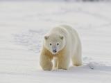 Polar Bear Cub  Arctic National Wildlife Refuge  Alaska  USA