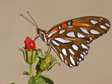 Gulf Fritillary  Texas  USA