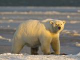Polar Bear  Arctic National Wildlife Refuge  Alaska  USA