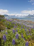 Lupine  Heather Island  Prince William Sound  Alaska  USA