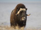 Muskox  Arctic National Wildlife Refuge  Alaska  USA