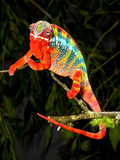Rainbow Panther Chameleon  Fucifer Pardalis  Native to Madagascar