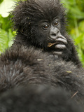 Mountain Gorilla  Volcanoes National Park  Rwanda