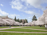Cherry Trees on University of Washington Campus  Seattle  Washington  USA