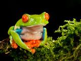 Red Eye Treefrog  Agalychnis Callidryas  Native to Central America