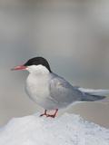 Arctic Tern  Prince William Sound  Alaska  USA