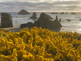 Scotchbroom and Sea Stacks  Bandon  Oregon  USA