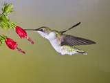 Ruby-Throated Hummingbird  Texas  USA