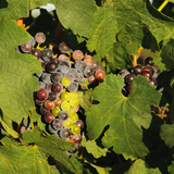 Merlot Wine Grapes  Tri-Cities  Washington  USA