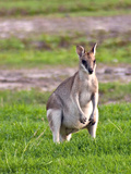 A Male Grey Kangaroos (Macropus Giganteus) in Field on a Station in Queensland  Australia