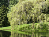 Weeping Willow  Japanese Gardens  Bloedel Reserve  Bainbridge Island  Washington  USA