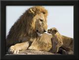 Lion Cub and Male Adult  Kenya