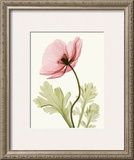 Iceland Poppy II