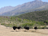 Ostriches  Swartberg  South Africa  Africa