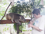 Volunteer Feeding Koala Bear (Phascolarctos Cinereus) at Sanctuary  Port Macquarie  Australia