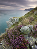Flowering Heather on Clifftops of Valley of Rocks  Exmoor Nat&#39;l Park  Devon  England