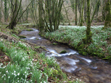 Snowdrops (Galanthus) Flowering in North Hawkwell Wood  Exmoor Nat&#39;l Park  Somerset  England