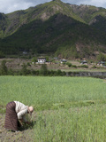 Female Farmer Working in Wheat Field  Paro Valley  Bhutan  Asia