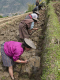 Female Farmers at Work in Rice Terraces  Radi  Eastern Bhutan  Bhutan  Asia