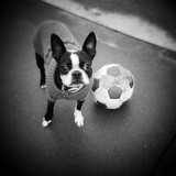 Boston Terrier with Soccer Ball