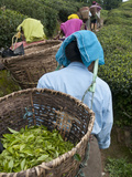 Workers Carrying Baskets of Tea Leaves  Fikkal  Nepal  Asia