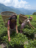 Tea Plucking in the Annapurna Area  Lwang  Pokhara  Nepal  Asia