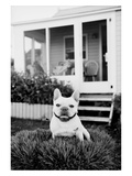 French Bulldog Southampton NY
