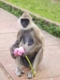 Tufted Gray Langur Eating Lotus Flower (Semnopithecus Priam)  Anuradhapura  Sri Lanka