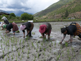 Female Farmers Transplanting Rice Shoots into Rice Paddies  Paro Valley  Bhutan  Asia