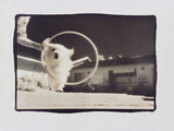 Lulu jumping through hoop