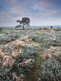 Hoar Frost Coated Heather  Bracken and Pine Tree in New Forest National Park  Hampshire  England