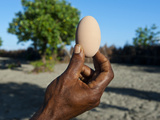 Megapode Egg  Savo Island  Solomon Islands  Pacific