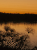 Papyrus Reeds Along Zambezi River at Sunset  Eastern End of the Caprivi Strip  Namibia  Africa