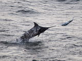 Blue Marlin (Makaira Nigricans) Hunting Dorado (Coryphaena Hippurus)  Congo  Africa