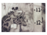 13&#39; Giraffe