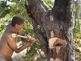 Jul'Hoan !Kung Bushman Axing to Access a Bee Hive  Bushmanland  Kalahari Desert  Namibia