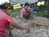 Women Sorting Out Fish Catch in the Fishing Village of Thinga Gyi  Irrawaddy Delta  Myanmar (Burma)