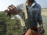 Large Shrimp from Waterway in Irrawaddy Delta  Myanmar (Burma)  Asia