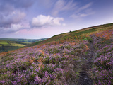 Footpath Winding Through Carpet of Heather on Trentishoe Down  Exmoor Nat&#39;l Park  Devon  England