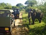 Asiatic Tusker Elephant (Elephas Maximus Maximus)  Yala National Park  Sri Lanka